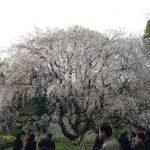 特別名勝の「六義園(りくぎえん)」でライトアップされた枝垂れ桜を見てきました。