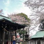 【桜マップ付】恩田川の桜は今年も美しく咲き誇っています。