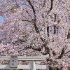 まちだのさくら2015@南大谷天神社